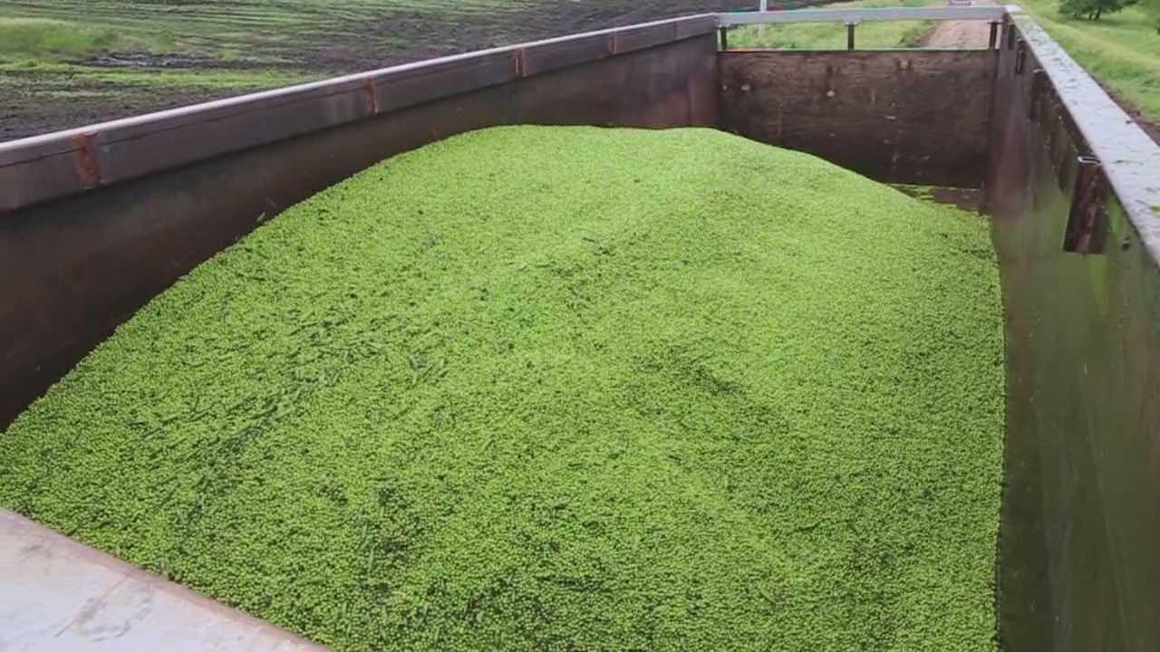 Birds Eye is growing peas at an Iowa farm.