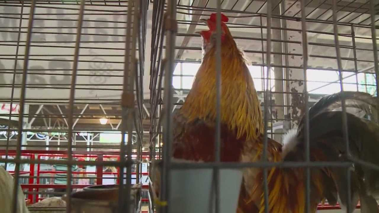 Minnesota cancels poultry events at their state fair, will Iowa follow
