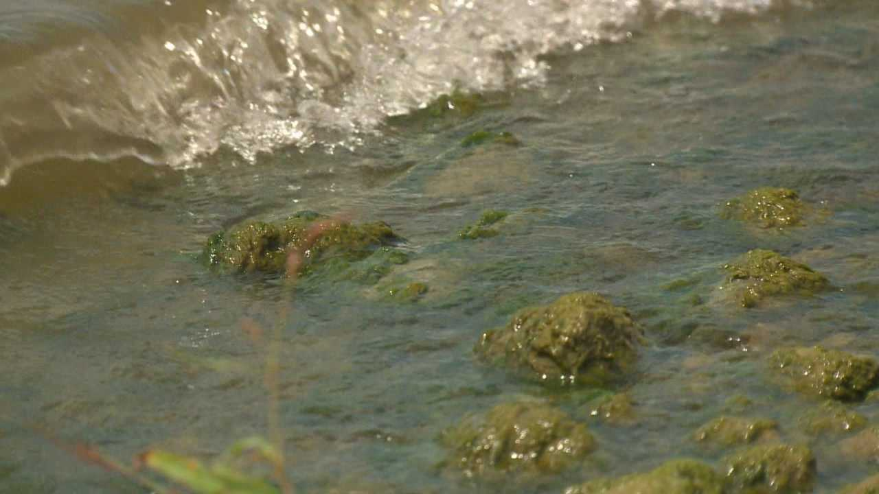 Mossy blue-green algae is collecting at two Saylorville Lake beaches.