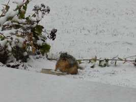 Snow and squirrel in Webster City about 2 p.m. from Bill