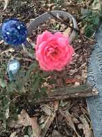 Also a rose is blooming on Dec. 22 in Monroe, Iowa!