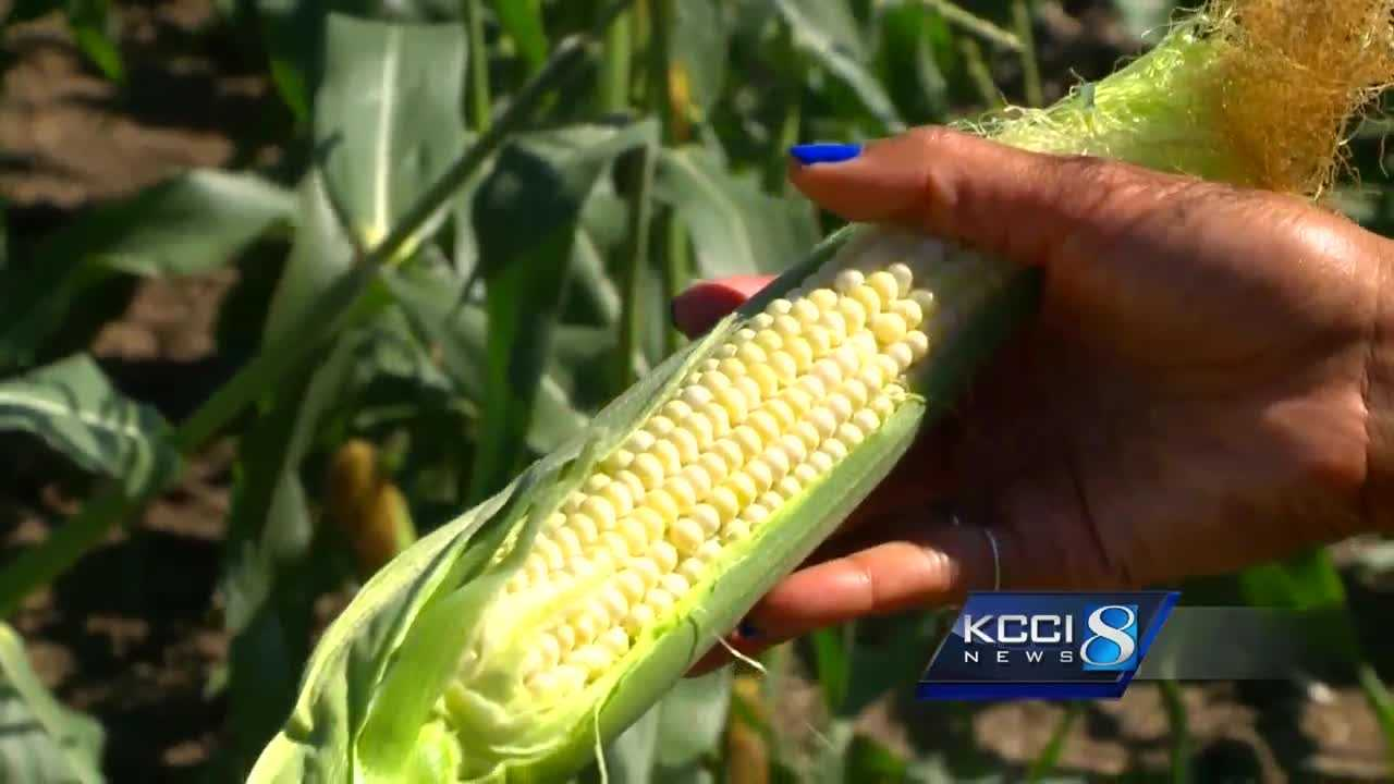 Sweet corn is an Iowa tradition, and many anticipate eating the savory vegetable on the Fourth of July.