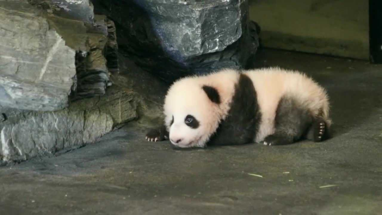 A male baby panda, which was born in Belgium's Pairi Daiza zoo earlier this year, is learning to take his first steps.