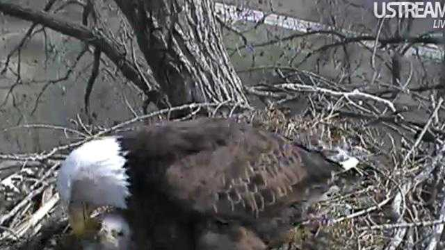 April 12: Eagle in nest with three eaglets.