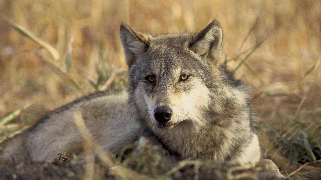 **This image of a gray wolf is not an actual image of OR-7.