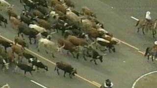 Folsom cattle drive