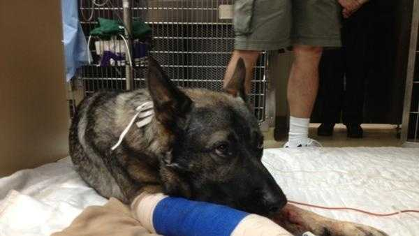 Bodie, a Sacramento Police K-9, was shot in the line of duty.