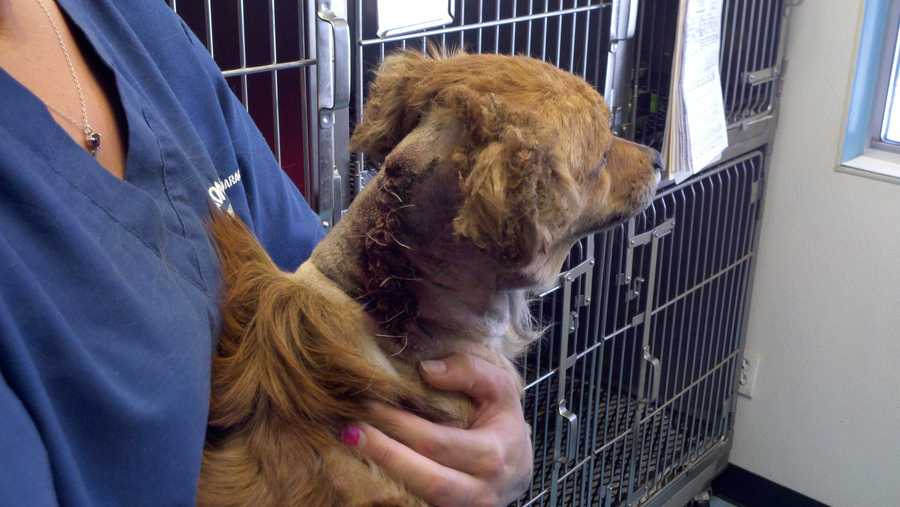 A long-haired Dachshund was injured in Stockton on Wednesday when two men attached an explosive device to the dog.