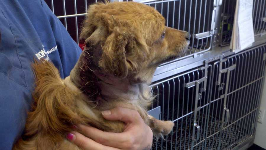 A long-haired Dachshund was injured in Stockton on Wednesday when two men attached an explosive device to the dog. Read full story