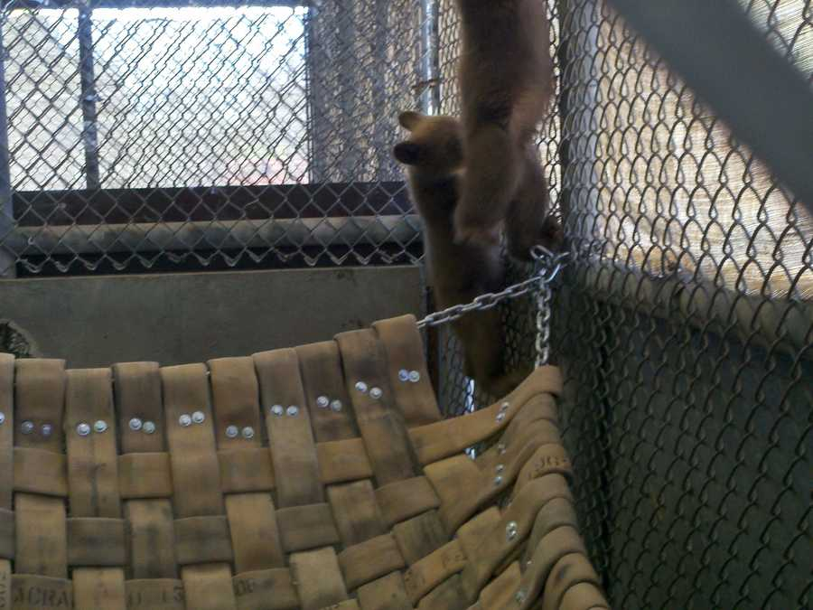 The two cubs play inside this cage in Rancho Cordova.
