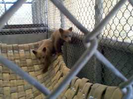Christopher Puett of North San Juan was convicted of illegally possessing these two bear cubs.