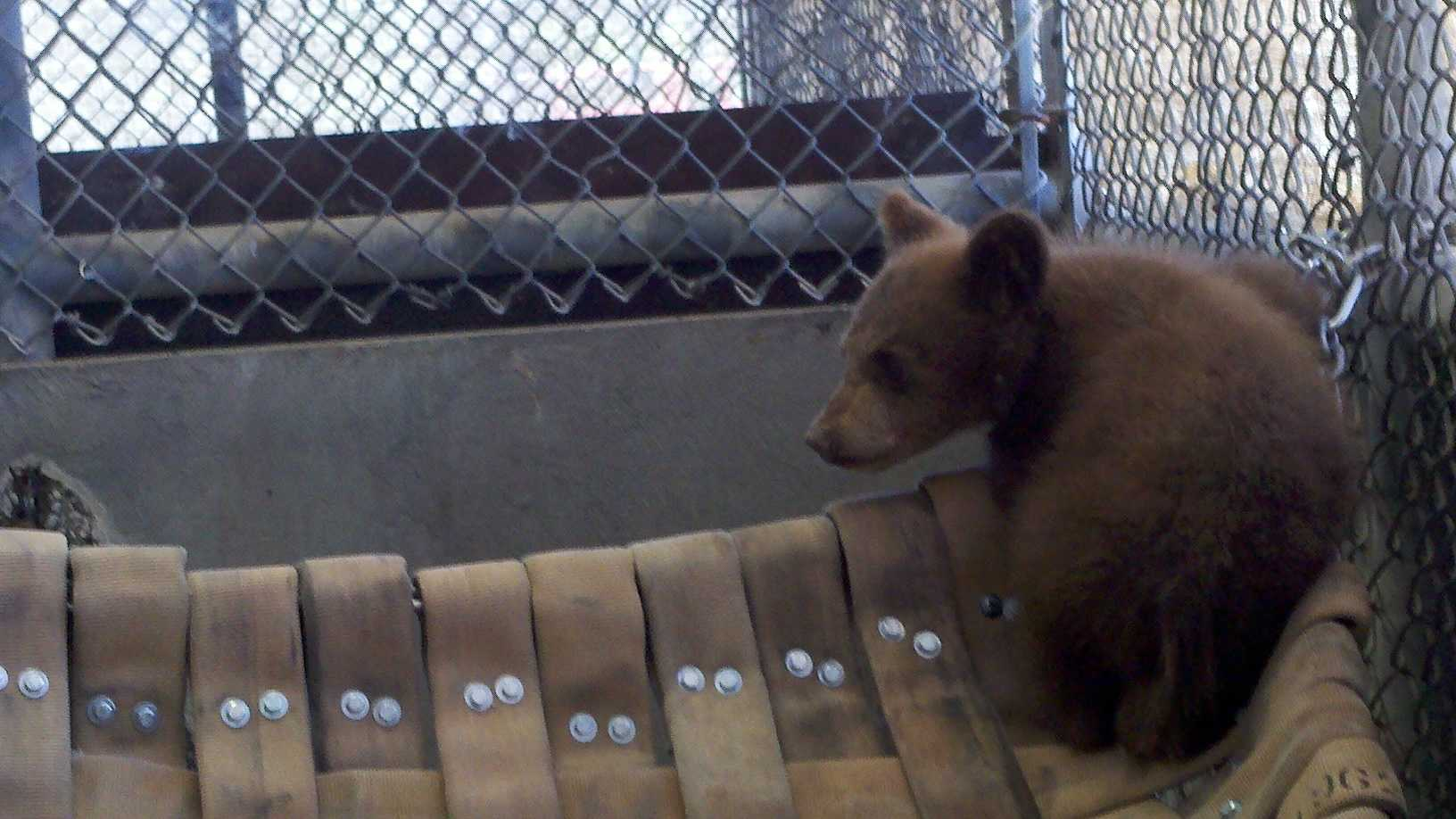 Here's one of the cubs playing inside a pen in RanchoCordova.