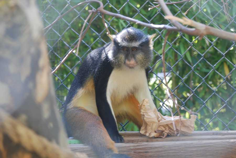 Wolf's guenon monkeys are native to Congo and Uganda and enjoy trees along the Congo River.
