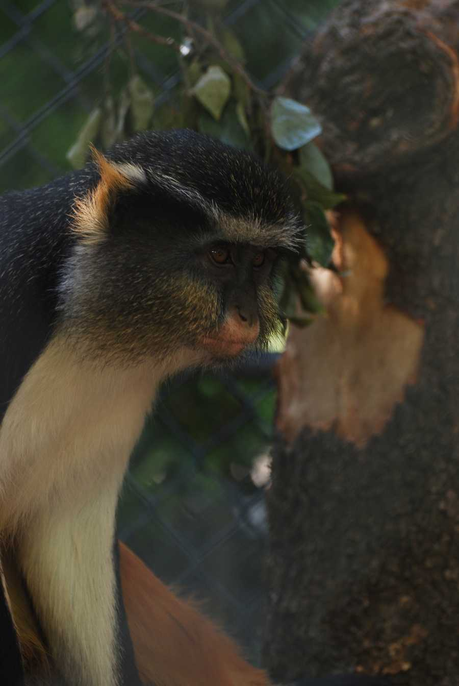 The Sacramento Zoo announced Thursday that it had acquired a Wolf's guenon monkey from the San Antonio Zoo.