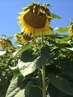 A huge sunflower grows in the Floriculture.