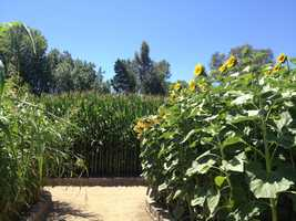 A shot of the Floriculture area, featured are corn and sunflowers.