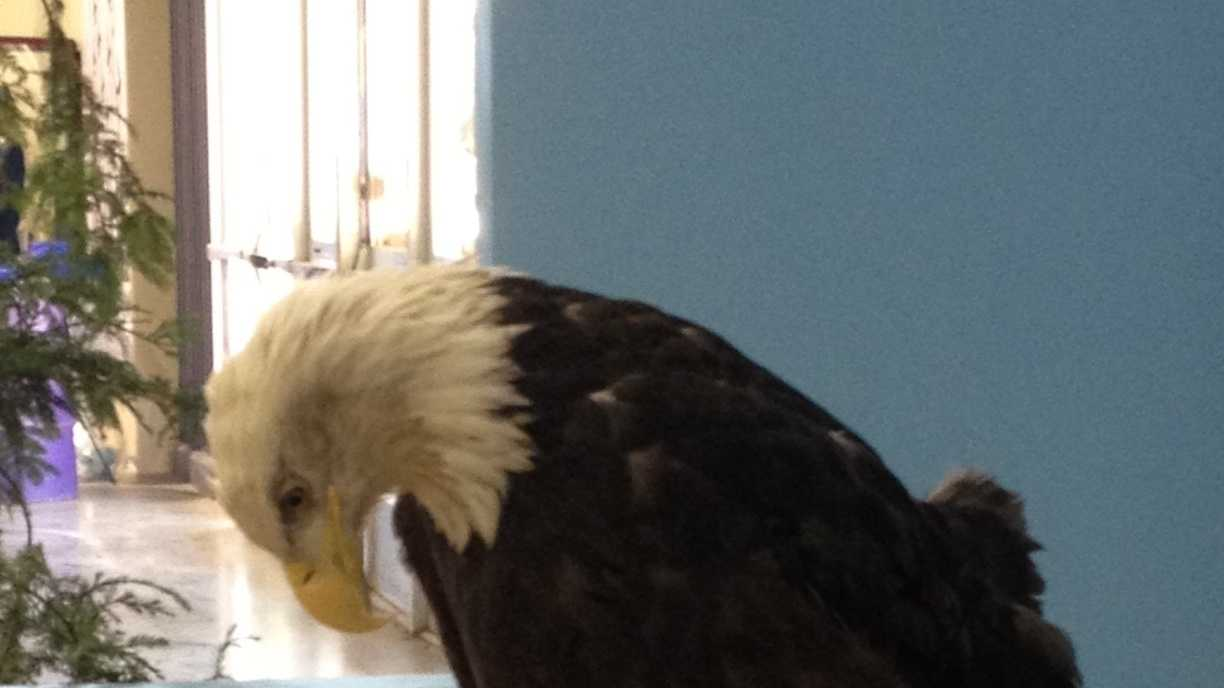 """Spirit,"" is a 12-year-old bald eagle, weighing in at 12 pounds with an estimated 6-foot wing span."