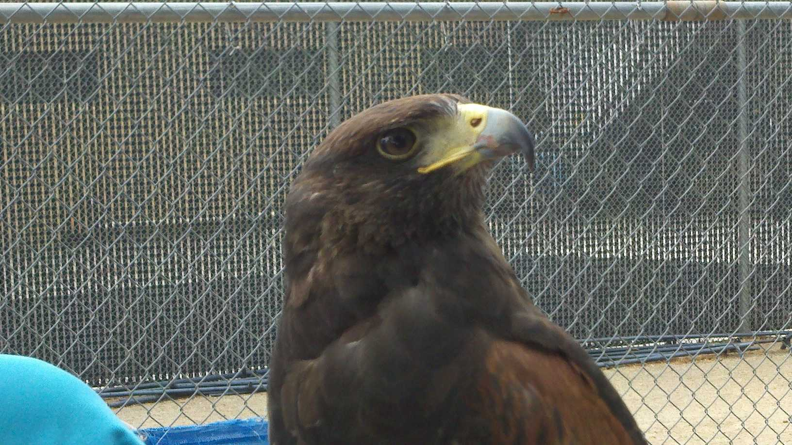 The animal is a trained and valuable hunting hawk (Aug. 4, 2012).