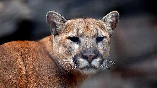 Photograph provided by the Mountain Lion Foundation.