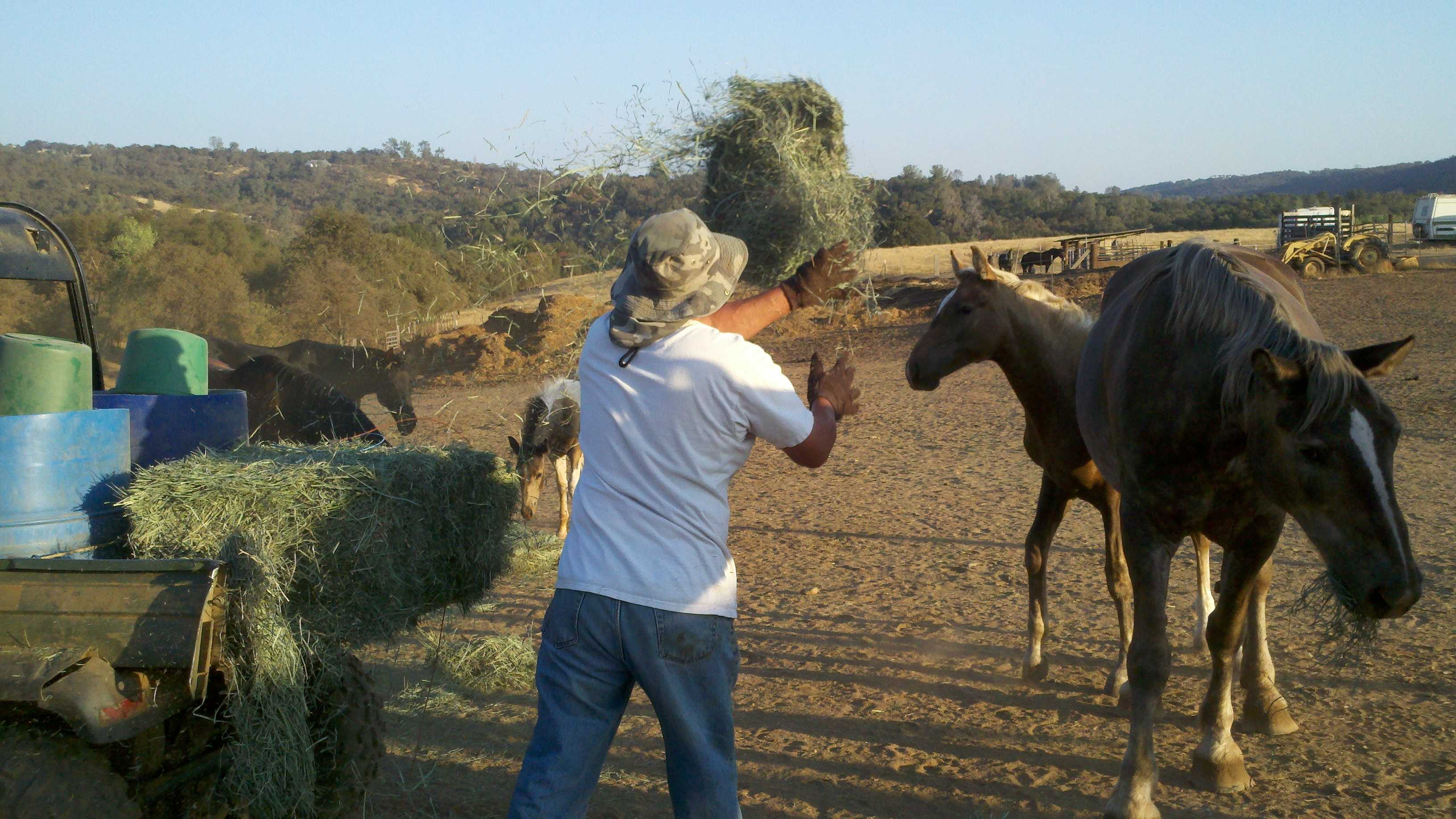 A worker feeds hay to rescued horses at the Grace Foundation.