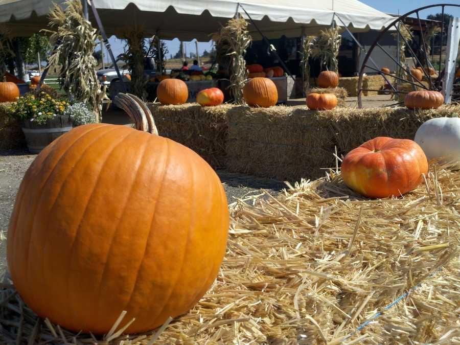 Dave's Pumpkin Patch opens in West Sacramento this weekend, but workers there didn't expect 100-degree weather.