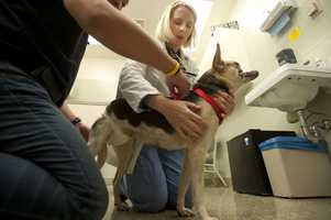 Veterinarians at UC Davis are confident they can help a dog that lost her snout and upper jaw when she jumped in front of a motorcycle to save two little girls in the Philippines.