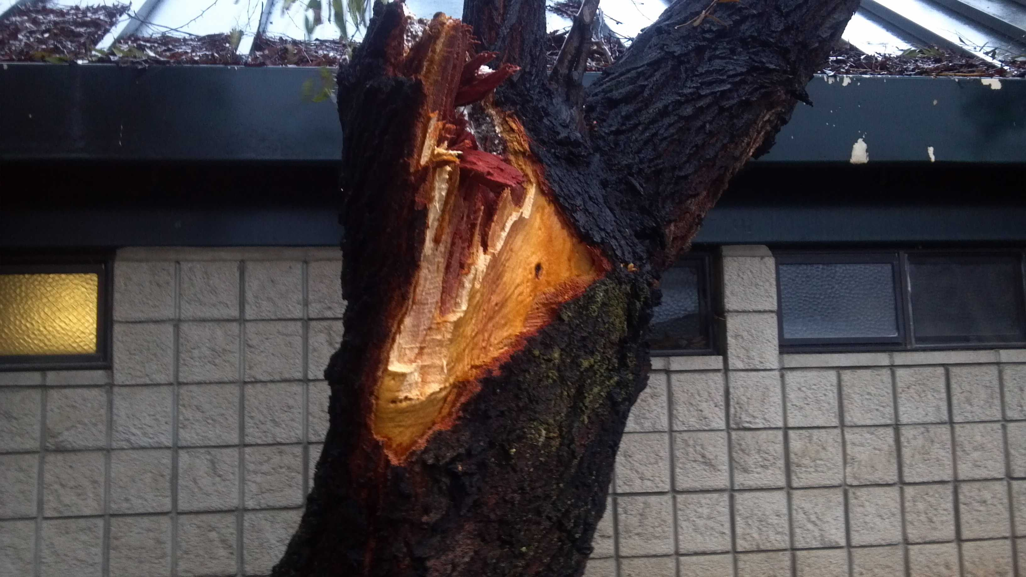 This tree came down in the area of Butterfield and Folsom, in Rancho Cordova (Nov. 21, 2012).