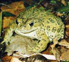What: Family Activity: Frog vs. ToadWhere: Effie Yeaw Nature CenterWhen: Sat 10:30 a.m. - 11:30 a.m.Click here for more information on this event.
