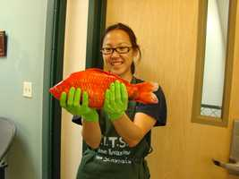 Researchers are finding a growing number of giant goldfish in Lake Tahoe and they are questioning the ecological impact they could have on the lake.