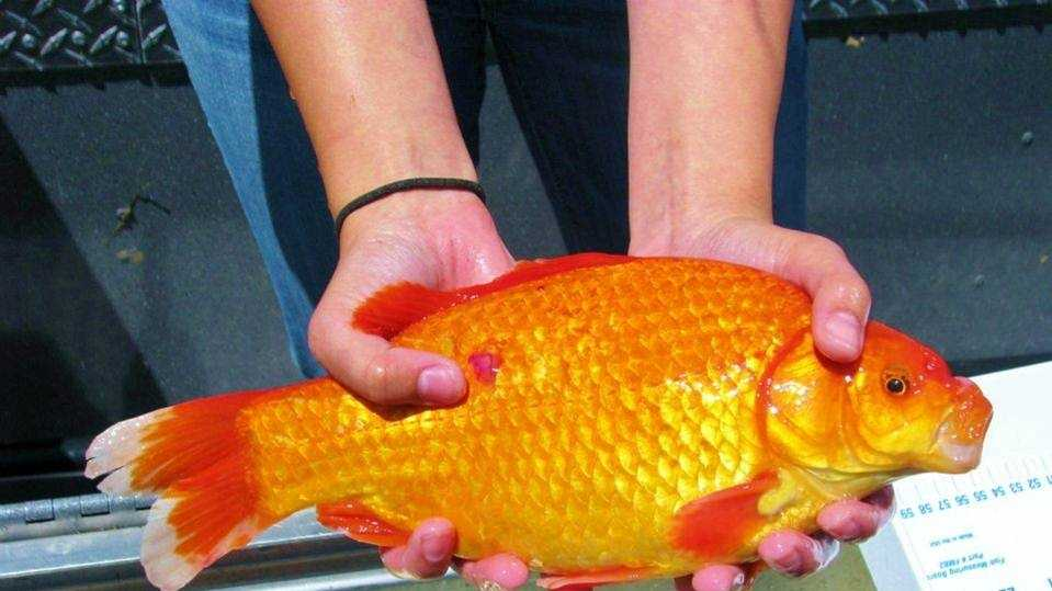 Christine Ngai of the University of Nevada, Reno, was among the researchers who found the first goldfish during a survey of invasive fish in the lake.