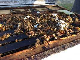 Bees stay warm inside a hive waiting to begin collecting pollen from almond trees.