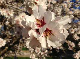 Bees collect pollen from almond trees and transfer it to adjacent trees pollinating almond seeds.