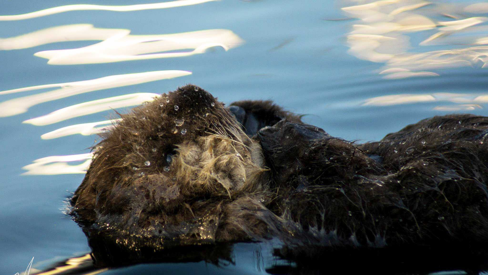The sea otter pup floats like a cork because it has much fluffy fur. Baby sea otters cannot dive so they rely on their hard-working and devout mothers for food.