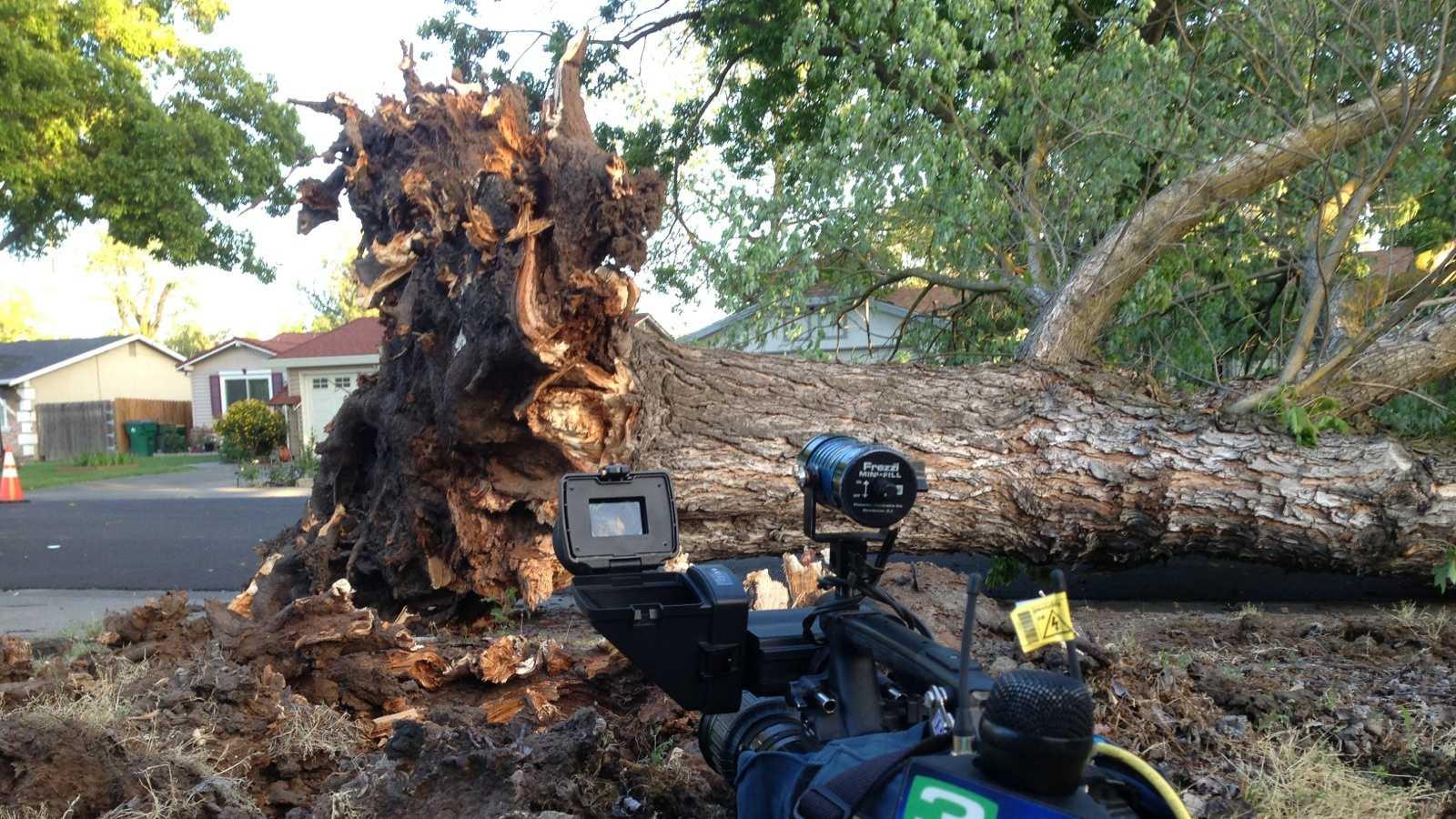 Stockton tree