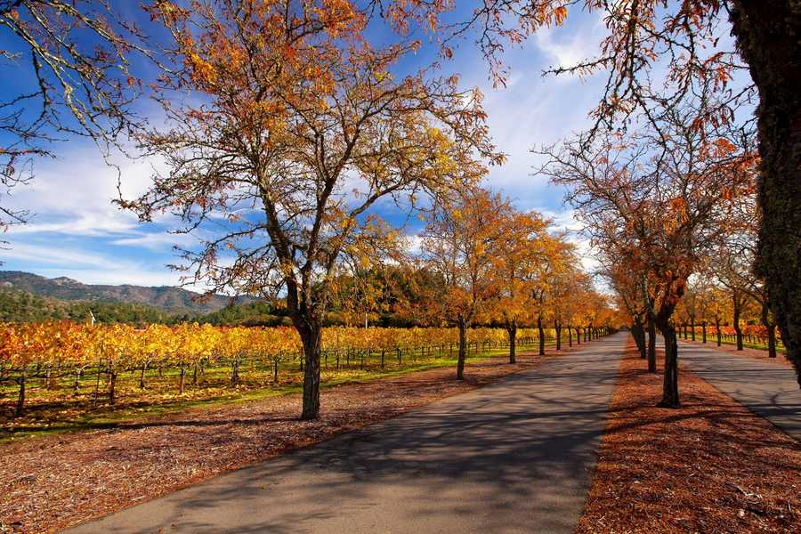 11. The biggest Napa Valley crop before grapes was prunes.