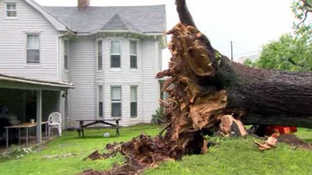 Weather topples 380 year old tree