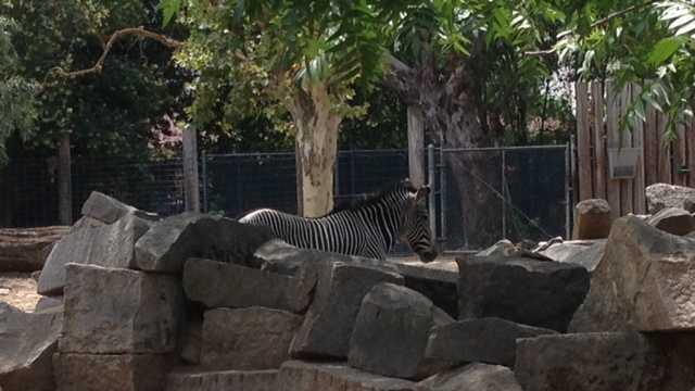 Zebras do just fine in the heat (July 2, 2013).
