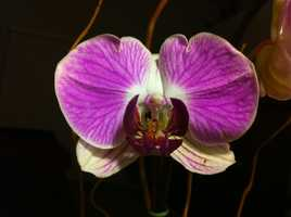 Every woman who attended the 1954 centennial celebration received a free orchid. 10,000 were given away that year.
