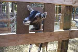 The world's largest Dairy Goat Show was held at the State Fair in 1987.