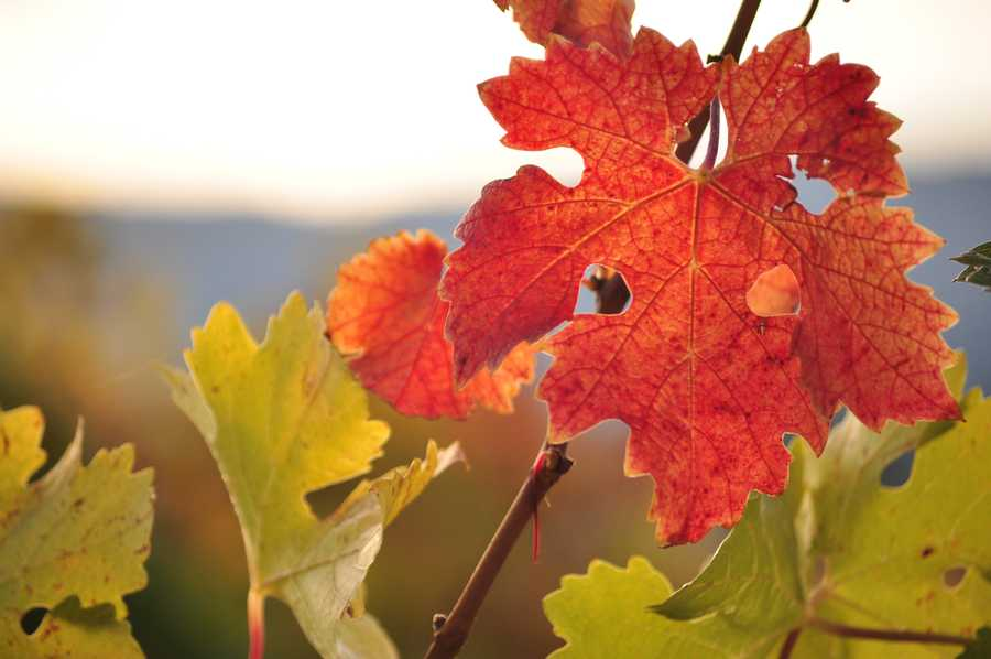 24. One acre of land in Napa is home to between 900 and 1,300 vines with 15 to 45 clusters of grapes per vine.
