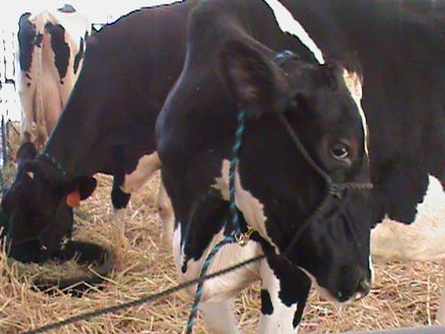 A dairy cow flirting with the camera.
