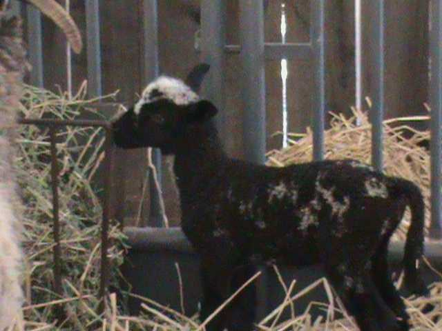 This baby lamb takes a bite of straw. Every day there are new arrivals to the State Fair. So, if you come at the beginning of the fair, chances are if you come back near the end there will be more animals to see.