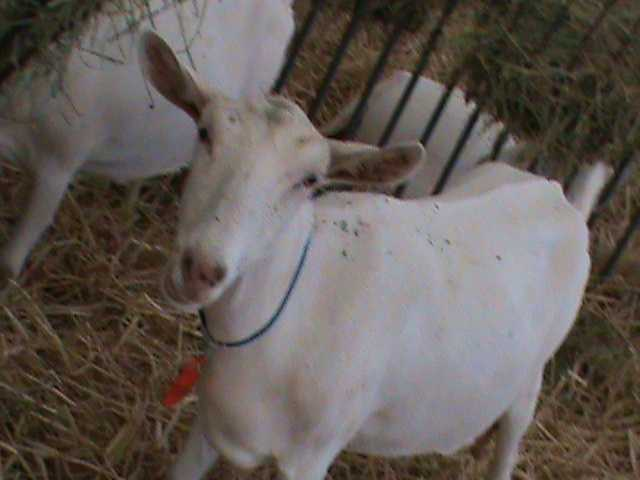 This dairy goat is one of dozens you'll find at the State Fair.