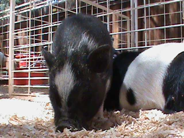 A little pig looks for more snacks on the ground.