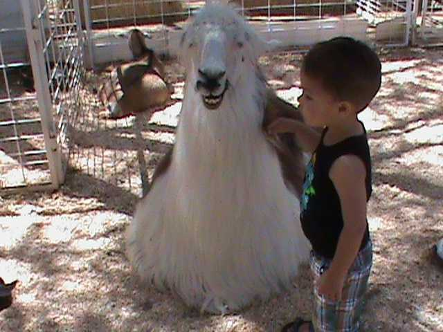 Llamas, like this one smiling for the camera, is part of a petting zoo at the State Fair.