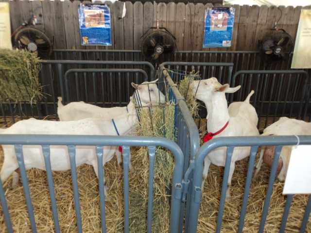 It's feeding time with the goats. Visitors at the State Fair can see the daily habits of many of the animals.