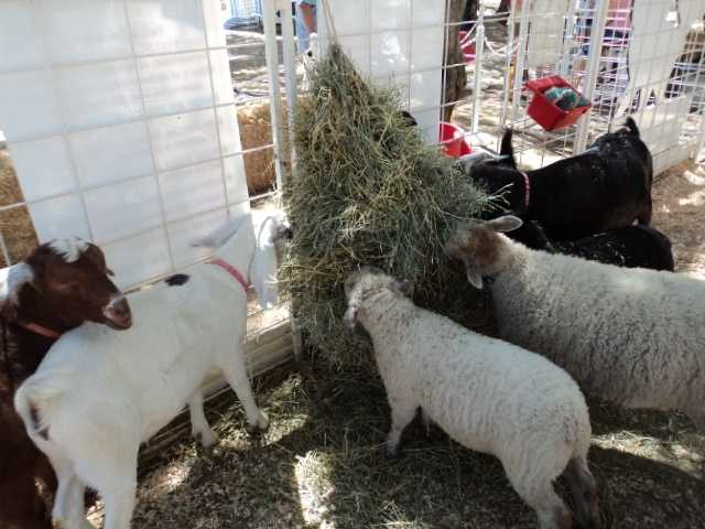 One tip: During feeding time avoid getting between the animals and the hay.
