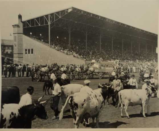 This 1930 photo shows the State Fair livestock judging as participants parade their livestock along the racetrack at the fair's Stockton Boulevard location.