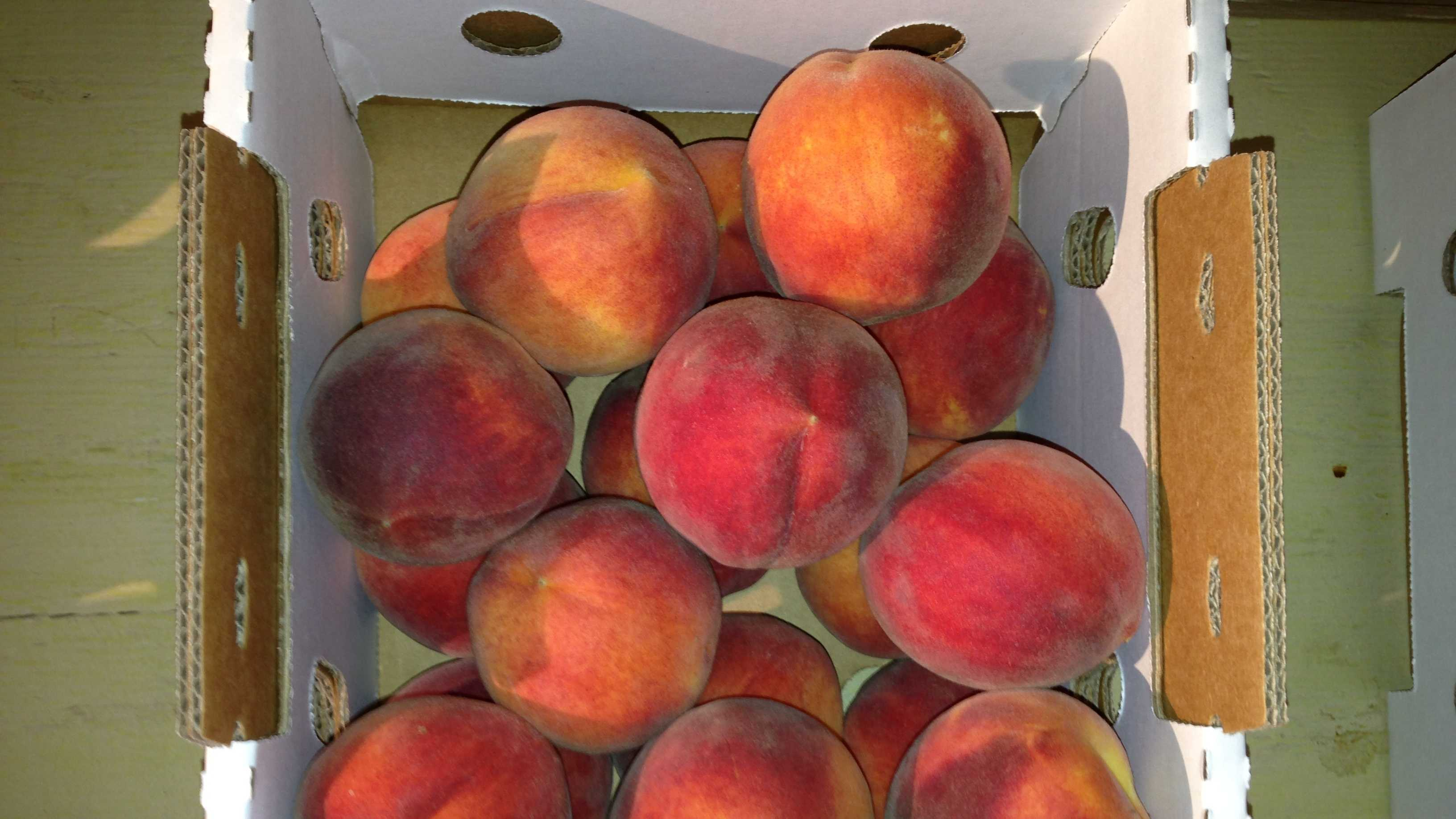 The festival is designed for peach lovers. Farmers will showcase their succulent fruit and produce at the annual gathering, which is the brainchild of the Sodaro family. The family grows acres upon acres of peaches at the Sodaro Orchard.