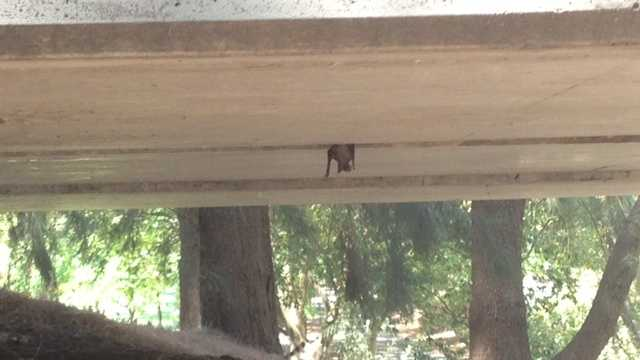 Bat under bridge in Davis